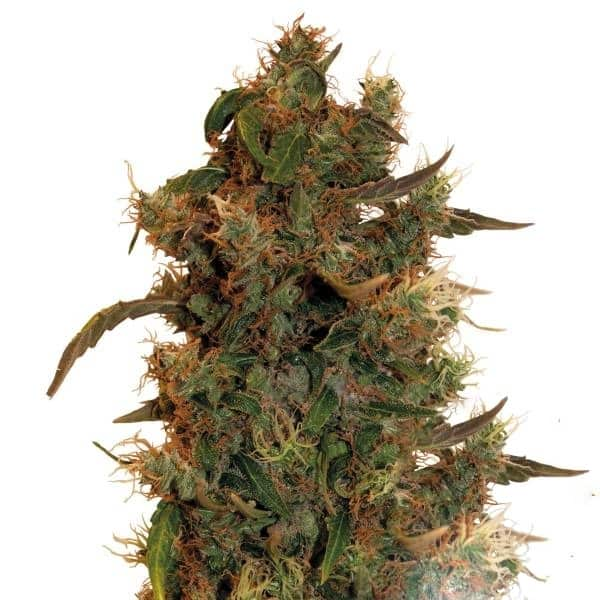 Buy 8 Ball Kush Cannabis Seeds from Barney Farm at HollandsHigh