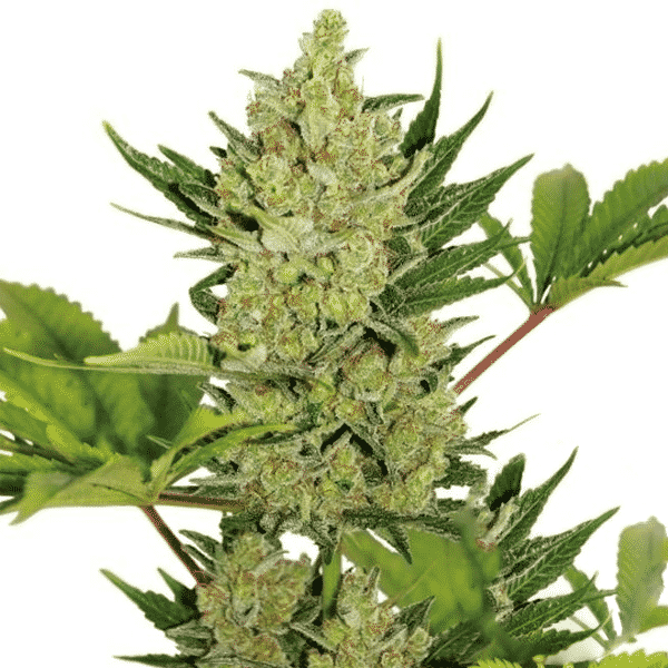 Buy Blue Cheese auto Cannabis Seeds from Sensi Seeds online at HollandsHigh - Fast & Discrete world wide shipping!