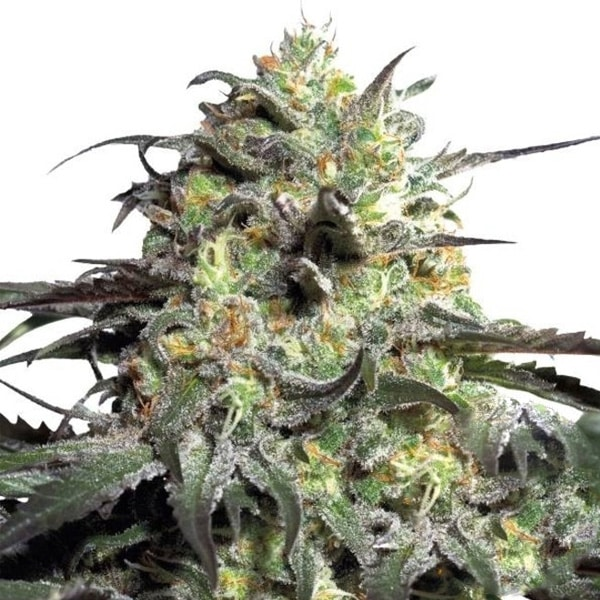 Peyote Cookies Cannabis Seeds from Barneys Farm available at HollandsHigh!