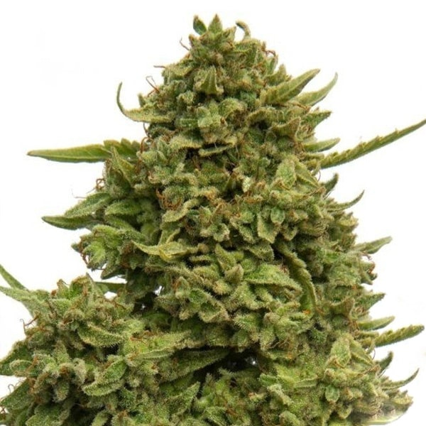 Buy Pineapple Chunk Cannabis Seeds from Barneys Farm online at HollandsHigh! Fast & Discrete worldwide shipping! Check out all our Barneys Farm strains!