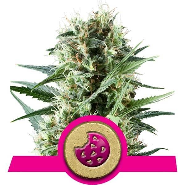 Royal Cookies Feminized Cannabis Seeds