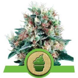 Royal Creamatic Cannabis Seeds