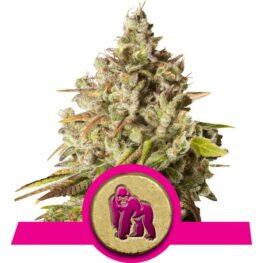 Royal Gorilla Feminized Cannabis Seeds