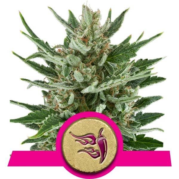 Speedy Chile Cannabis Seeds