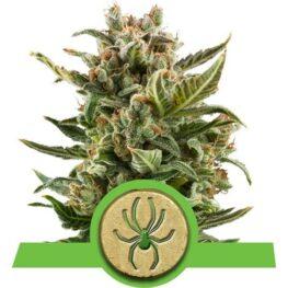 White Widow Automatic Cannabis Seeds