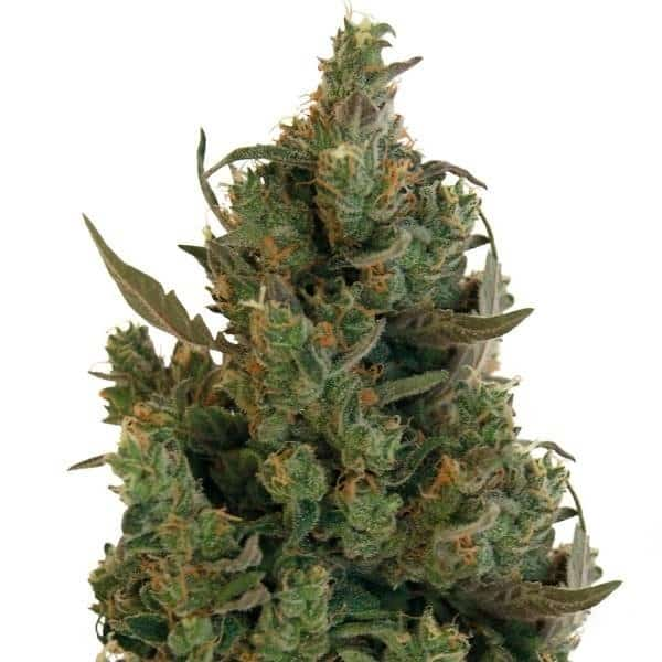 Buy Blueberry Cheese Cannabis Seeds from Sensi Seeds online at HollandsHigh - Fast & Discrete world wide shipping!