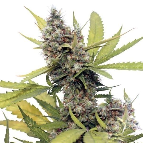 Buy Honey B Cannabis Seeds from Barneys Farm at HollandsHigh