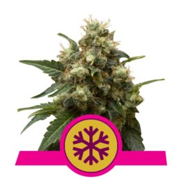 Indica Crystal Extreme!Buy Ice Feminized Cannabis Seeds from Royal Queen Seeds online at HollandsHigh! Fast & Discrete worldwide shipping!