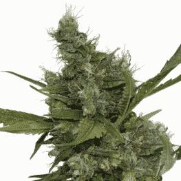 Buy Morning Glory Cannabis Seeds by Barneys Farm at HollandsHigh - Fast & Discrete Worldwide Shipping!