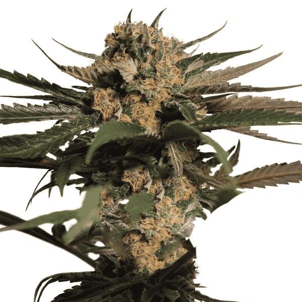 Buy Violator Kush cannabis seeds by Barneys Farm at HollandsHigh Fast & Discrete Worldwide Shipping!