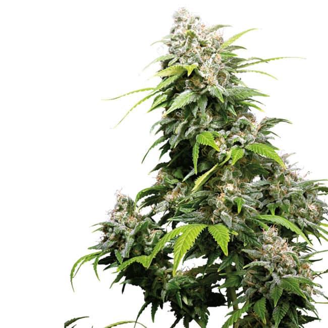 California Indica Feminized Cannabis Seeds - Get your Sensi Seeds here!