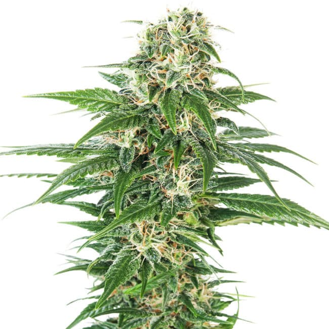 Buy Early Skunk Automatic Feminized Autoflowering Cannabis Seeds from Sensi Seeds online at HollandsHigh! Fast & Discrete worldwide shipping!