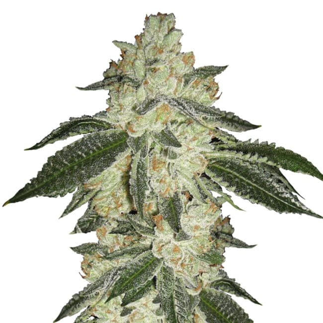Green Crack Automatic