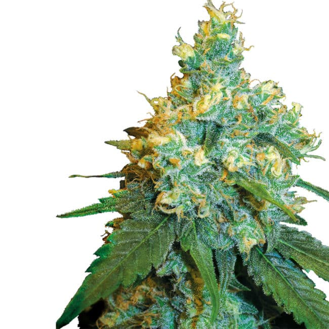Buy Jack Herer Feminized Cannabis Seeds from Sensi Seeds online at HollandsHigh! Fast & Discrete worldwide shipping! Check out all our Sensi strains!
