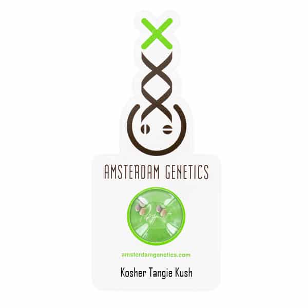 Buy Kosher Tangie Kush cannabis seeds from Amsterdam Genetics online at HollandsHigh!