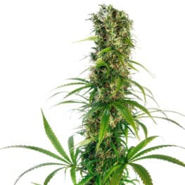 Buy Michka LTD Feminized Cannabis Seeds from Sensi Seeds online at HollandsHigh! Fast & Discrete worldwide shipping! Check out all our Sensi strains!