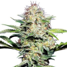 Buy Sensi Skunk Automatic Feminized Autoflowering Cannabis Seeds from Sensi Seeds online at HollandsHigh! Fast & Discrete worldwide shipping!