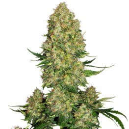 Buy Skunk #1 Automatic Feminized Autoflowering Cannabis Seeds from Sensi Seeds online at HollandsHigh! Fast & Discrete worldwide shipping!
