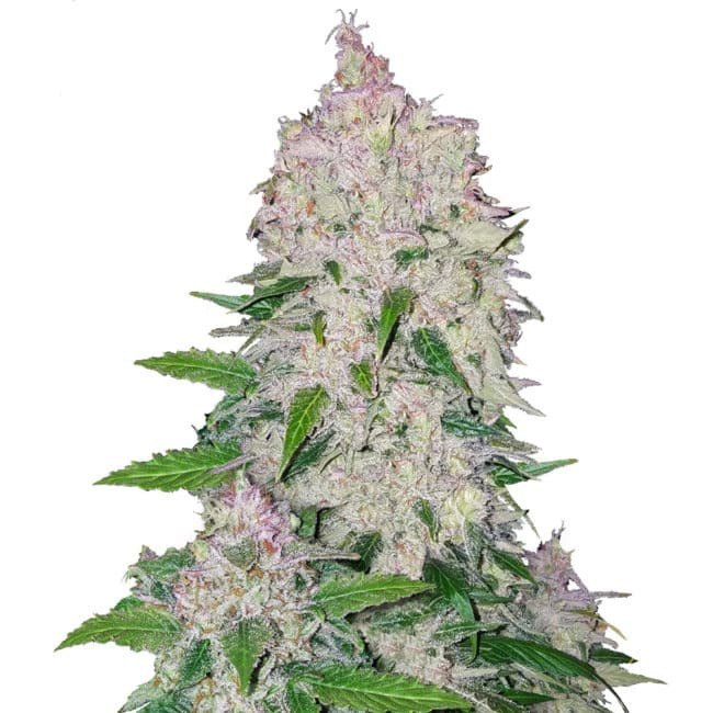 Stardawg Automatic seeds