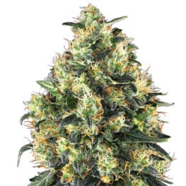 Buy Super Skunk Automatic Feminized Autoflowering Cannabis Seeds from Sensi Seeds online at HollandsHigh! Fast & Discrete worldwide shipping!