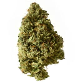 Buy White Choco Autoflower cannabis seeds from Amsterdam Genetics online at HollandsHigh!