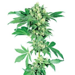 Buy Afghani #1 Feminized Cannabis Seeds from Sensi Seeds online at HollandsHigh! Fast & Discrete worldwide shipping! Check out all our Sensi strains!