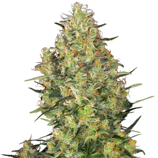 Buy Shiva Skunk Feminized Cannabis Seeds from Sensi Seeds online at HollandsHigh! Fast & Discrete worldwide shipping! Check out all our Sensi strains!