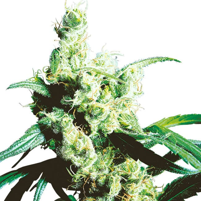 Buy Silver Haze Feminized Cannabis Seeds from Sensi Seeds online at HollandsHigh! Fast & Discrete worldwide shipping! Check out all our Sensi strains!