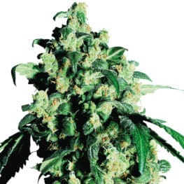Buy Super Skunk Feminized Cannabis Seeds from Sensi Seeds online at HollandsHigh! Fast & Discrete worldwide shipping! Check out all our Sensi strains!