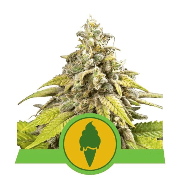 Green Gelato Autoflowering Cannabis Seeds