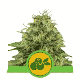 Buy Haze Berry Auto Cannabis Seeds from Royal Queen Seeds online at HollandsHigh!