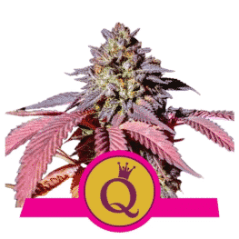 Purple Queen Cannabis Seeds