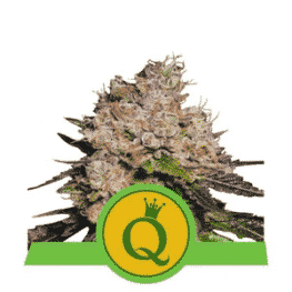 Purple Queen Automatic Cannabis Seeds