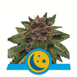 Purplematic Cannabis Seeds