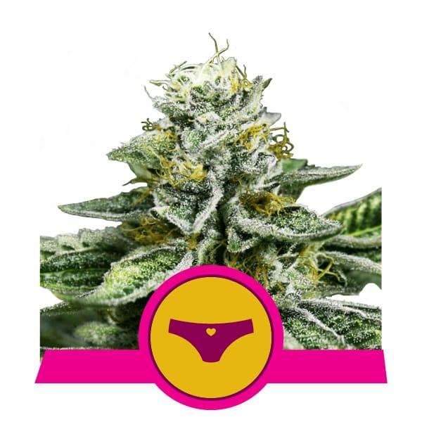 Sherbet Queen Feminized Cannabis Seeds