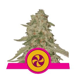 Sweet ZZ Feminized Cannabis Seeds