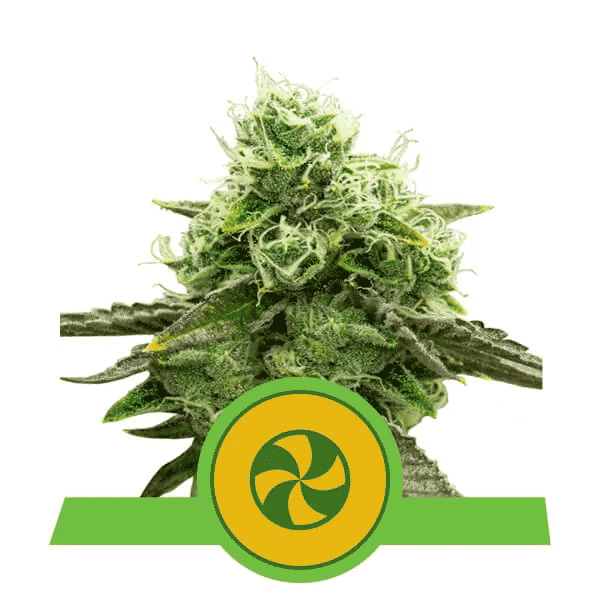 sweet ZZ Auto Cannabis Seeds from Royal Queen Seeds