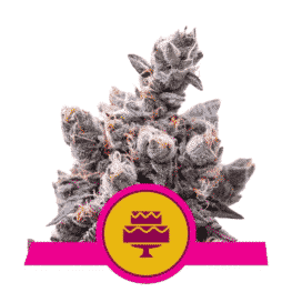Buy Wedding Gelato Feminized Cannabis Seeds from Royal Queen Seeds online at HollandsHigh!