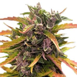 Buy Gorilla Glue Autoflowering Cannabis Seeds from Barneys Farm at HollandsHigh Seedbank!