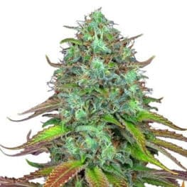 Buy LSD Autoflowering Cannabis Seeds from Barneys Farm Seeds online at HollandsHigh - Fast & Discrete world wide shipping!
