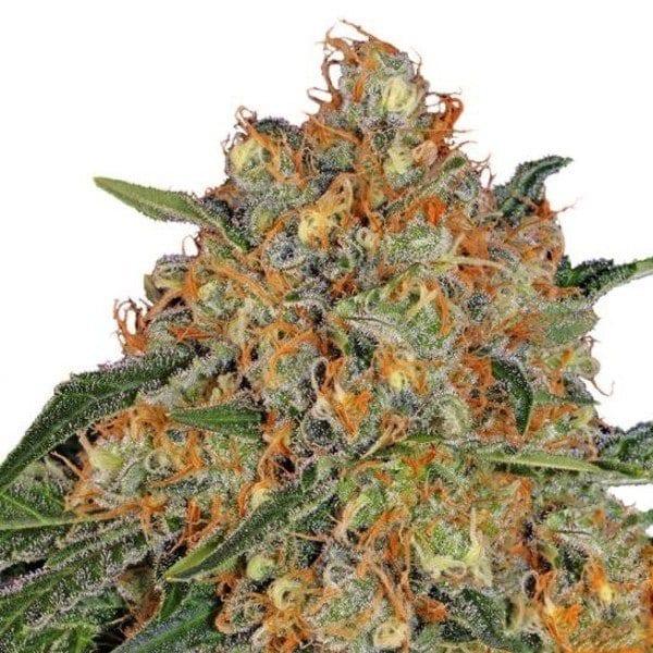 Buy Orange Sherbert Cannabis Seeds from Barneys Farm at HollandsHigh