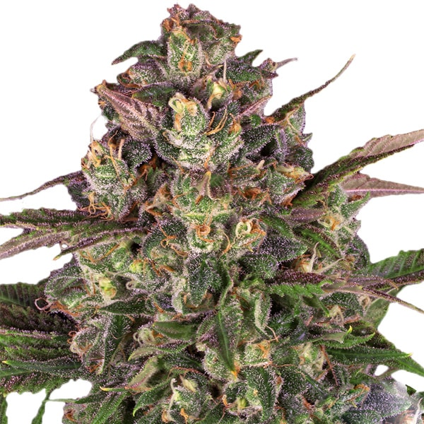 Buy Peyote Critical Cannabis Seeds from Barneys Farm
