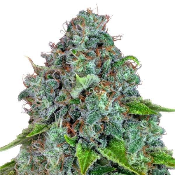 Strawberry Lemonade Cannabis Seeds from Barneys Farm