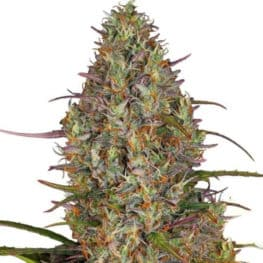 Buy Blue Gelato 41 Cannabis Seeds from Sensi Seeds online at HollandsHigh - Fast & Discrete world wide shipping!