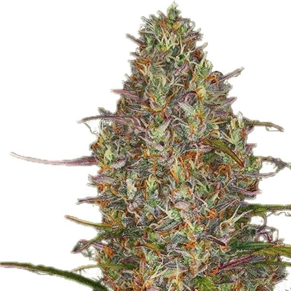 Buy Glue Gelato Automatic Cannabis Seeds from Barneys Farm at HollandsHigh Fast & Discrete Worldwide Shipping!