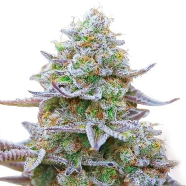 Buy Gorilla Zkittelz Cannabis Seeds from Barneys Farm at HollandsHigh