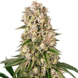 Buy Tropicanna Banana Cannabis Seeds from Barneys Farm at HollandsHigh