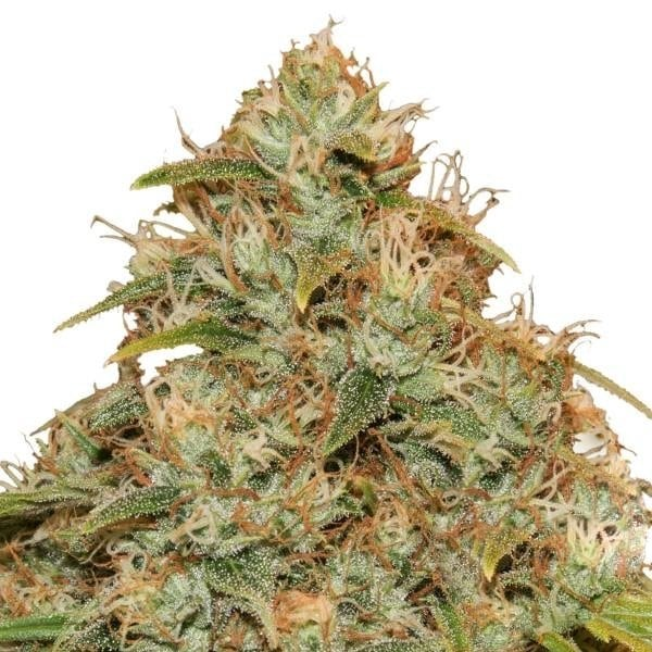 buy cbd lemon potion cannabis seeds