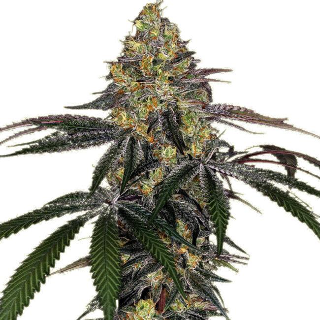 Buy Watermelon Zkittlez Feminized cannabis seeds by Barneys Farm at HollandsHigh