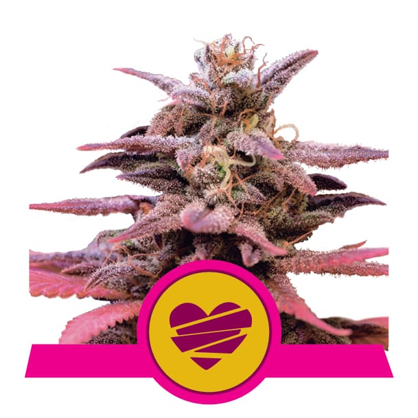 Wedding Crasher Cannabis Seeds